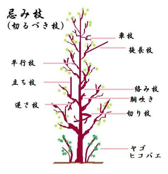 イロハモミジの画像 p1_30